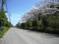 通勤路の桜